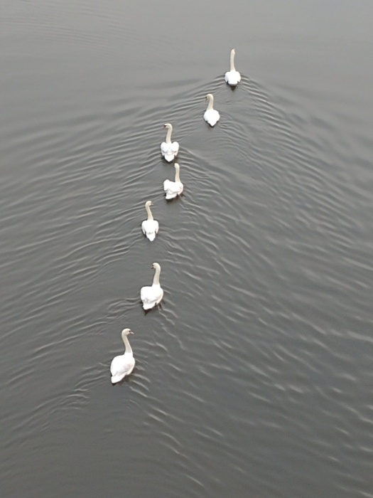 Seven swans a-swimming, spotted on my morning walk..